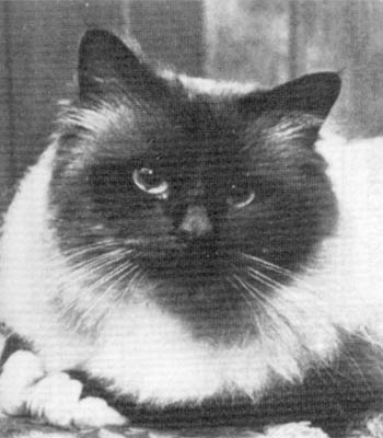 History of the Birman cat breed