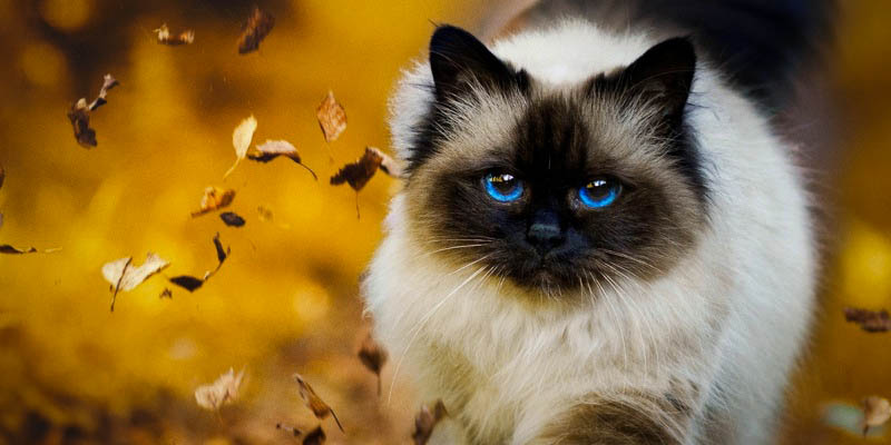 Tips for Birman cats